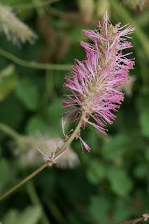 Pimprenelle japonaise - Sanguisorba obtusa - Sanguisorbe du Japon
