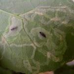 Plaga del gusano minador
