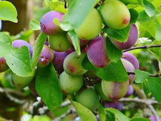 tips-memakan-buah-plum.jpg