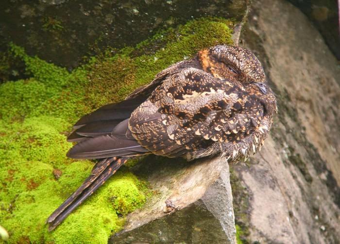 Atajacaminos lira, Uropsalis lyra