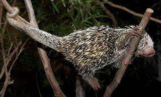 Contoh ekor prehensil pada landak pohon