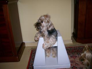 cão na cadeirinha de megaesofago