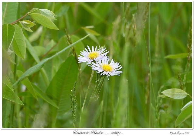 Wachusett Meadow: ... dotting...