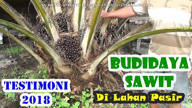Agen pupuk sawit Nasa hub. 0813 9262 6947 / 0815 797 3551. Testimoni budidaya kelapa sawit lahan pasir Kalimantan.
