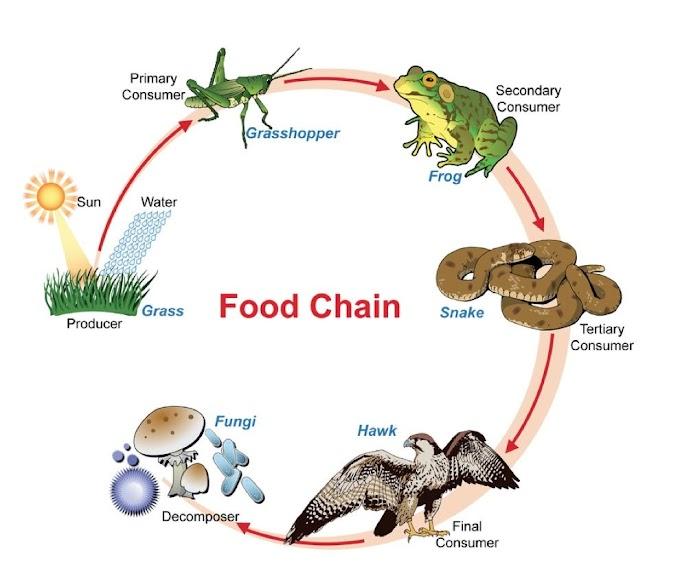 Ecologia | Cadeias e Teias Alimentares