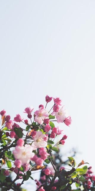 صور خلفيات ورد للايفون