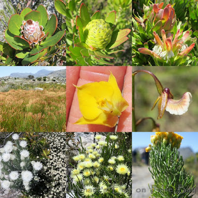 November proteas, orchids and daisies at Maiden Peak