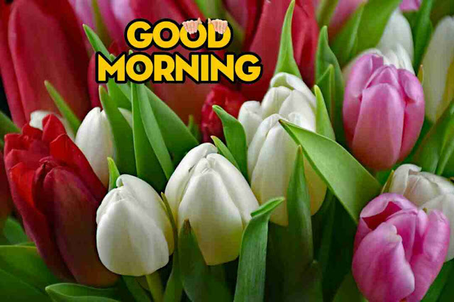 nice and beautiful good morning pic with tulips flowers red and white color