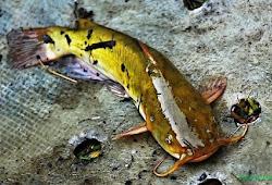 Cara Perawatan Ikan Lele Pada Musim Kemarau Agribisnis Agrokompleks