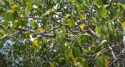 manchineel plant