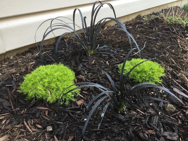 black mondo grass and scotch moss