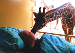 The moment a giraffe 'says goodbye' to a dying zoo worker