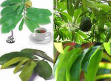 kandungan dan manfaat daun sirsak