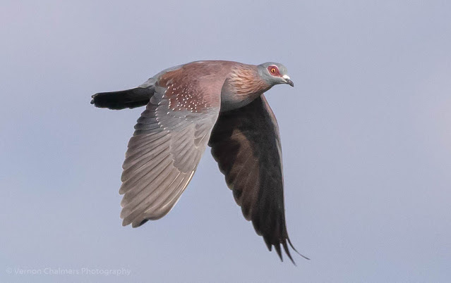 Speckled Pigeon in Flight Table Bay Nature Reserve Woodbridge Island Vernon Chalmers Photography Copyright