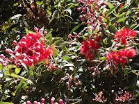Red flowering gum tree - Christchurch Botanic Gardens, New Zealand