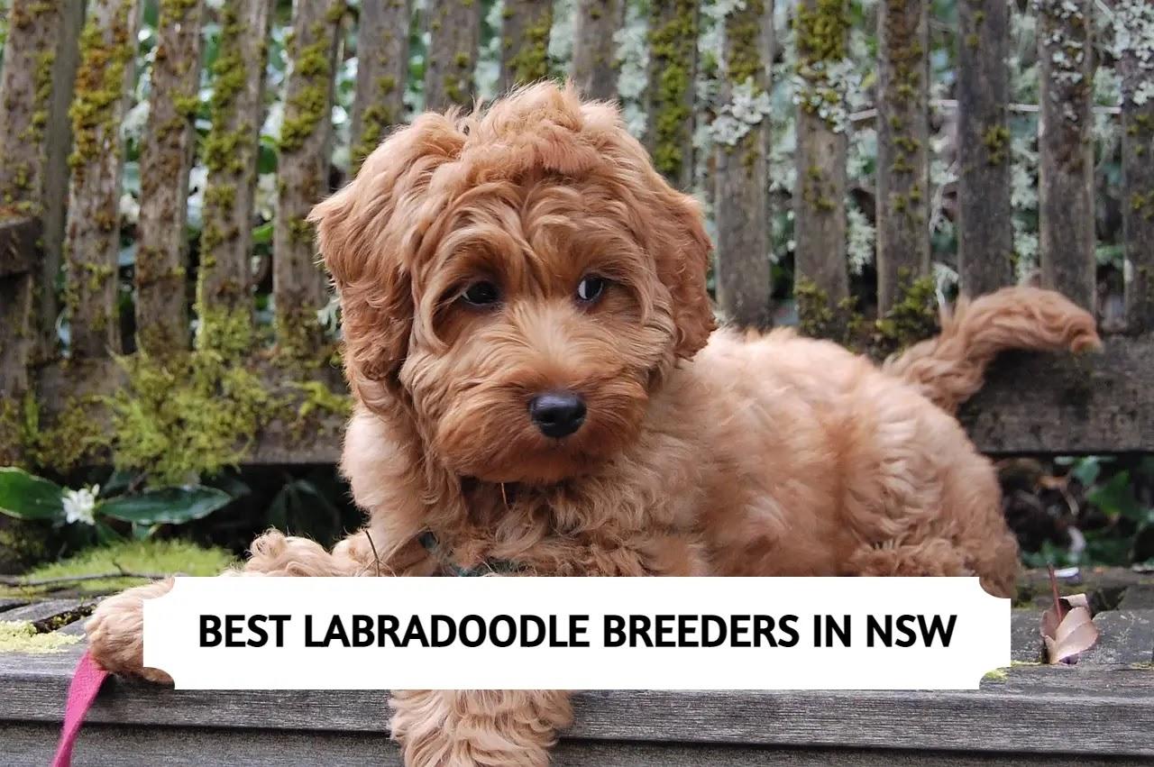 Best Labradoodle Breeders in NSW