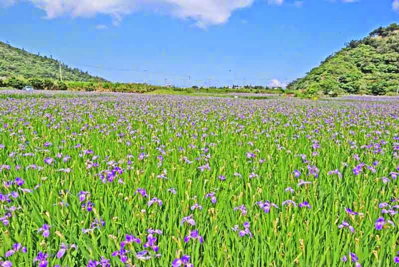 wide angle view,Iris fields in blossom between two hills on sunny day
