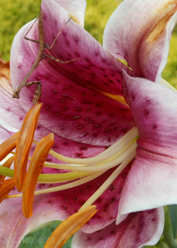 Stargazer Lily Photo by Aquariann