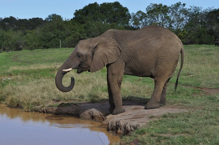 African elephants are the largest land animals on earth ...