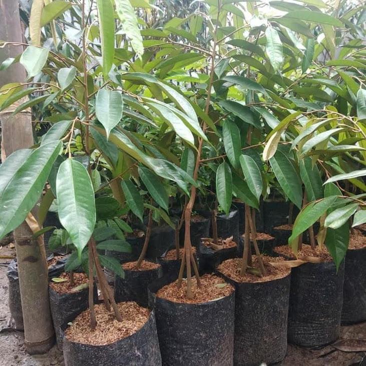 COD Bibit durian bawor kaki 3 hasil okulasi Palembang