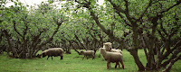 Hazelnuts in Kent, UK, with sustainable organic lawnmowers (sheep)