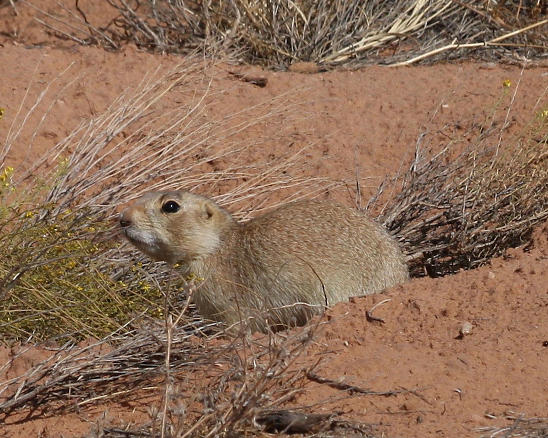 gunnison's prairie dog colorado call - 500×332