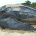 Is the Critically Endangered Leatherback Sea Turtle The Most Amazing Animal on Earth?