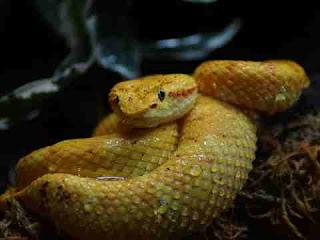 सपने में पीला सांप देखना sapne mein yellow snake dekhna