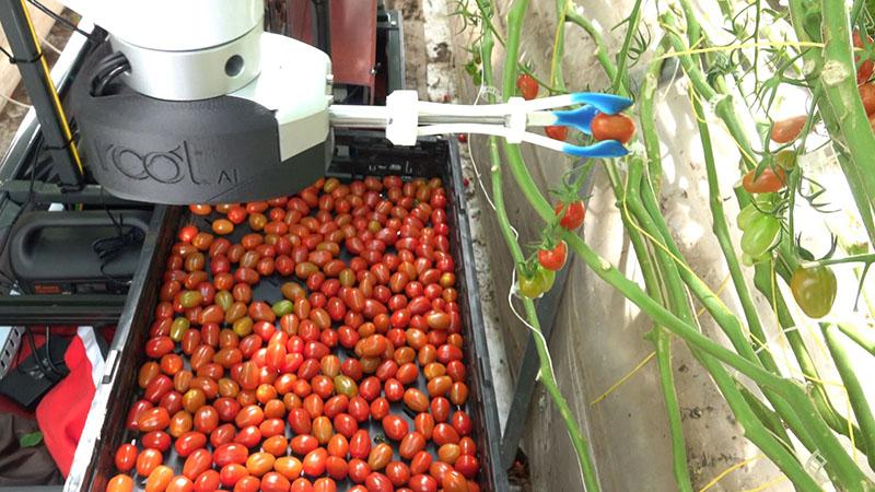 Робот собирает помидоры в теплице