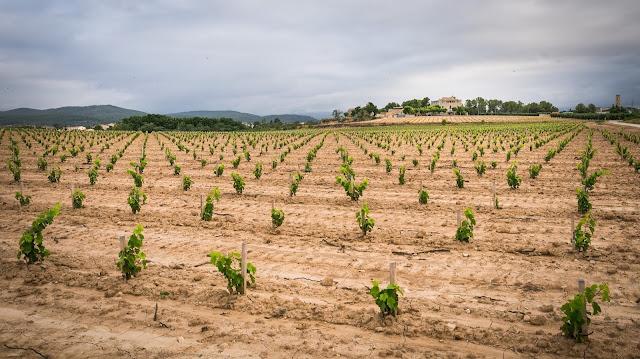 Nueva plantación de moneu en vaso en la finca del Castell de la Bleda