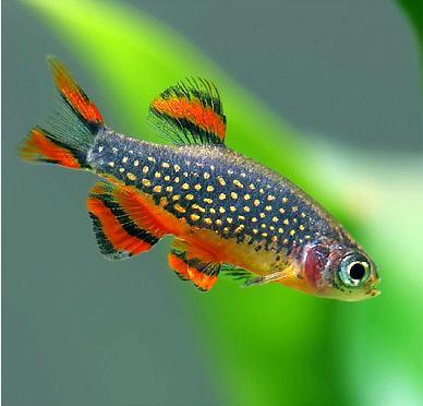 Điểm danh các loại cá cảnh nhỏ đẹp nhất trên thế giới