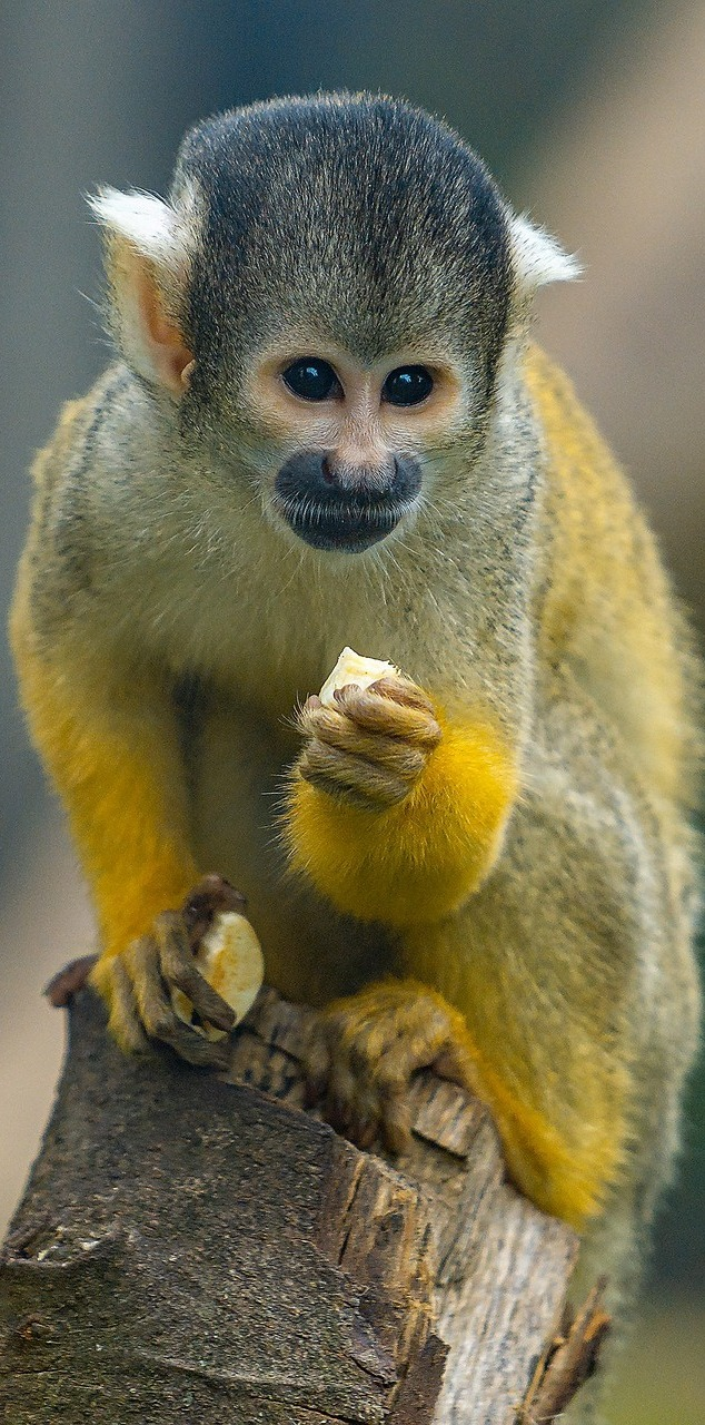Cute monkey eating.