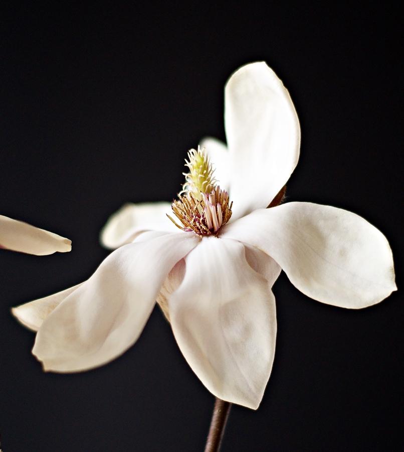 aufgeblühte weiße Magnolie als Makroaufnahme