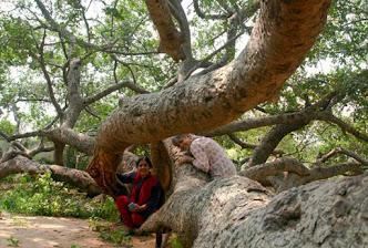 Teo women climbing amongst the massive, twisty trunk of a tree.