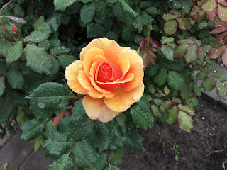 Yellow rose with touch of red
