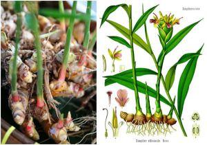 mengenal jahe dan cara menanam tumbuhan jahe