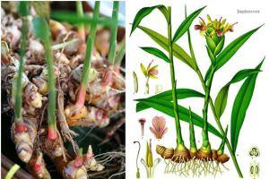 mengenal tanaman jahe dan cara budidaya jahe