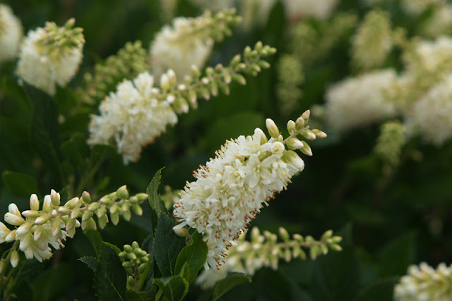 Sugartina 'Crystalina' Clethra from Proven Winners ColorChoice Shrubs