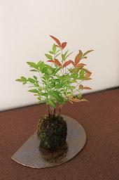 ナンテンの苔玉 紅葉