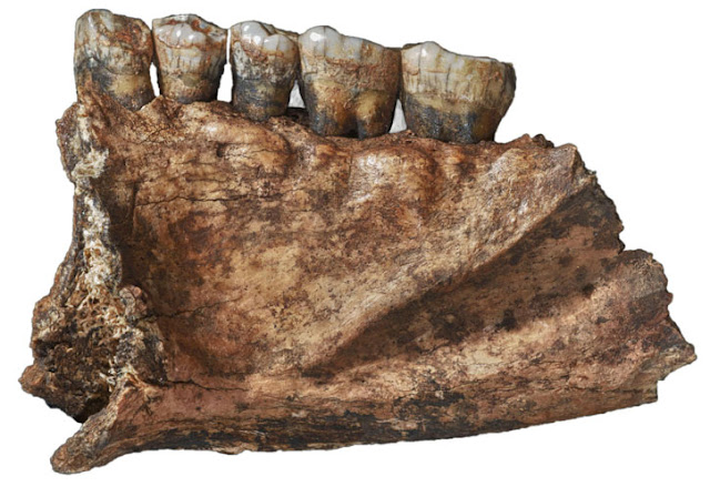 New research shows that Siberian Neanderthals also liked their greens