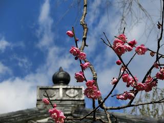瑞泉寺の梅
