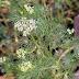 Medicinal benefits of Ajwain   Bishop's weed