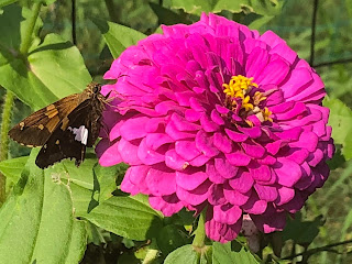 Grainy shot of my neighbor's zinnia. And butterfly.