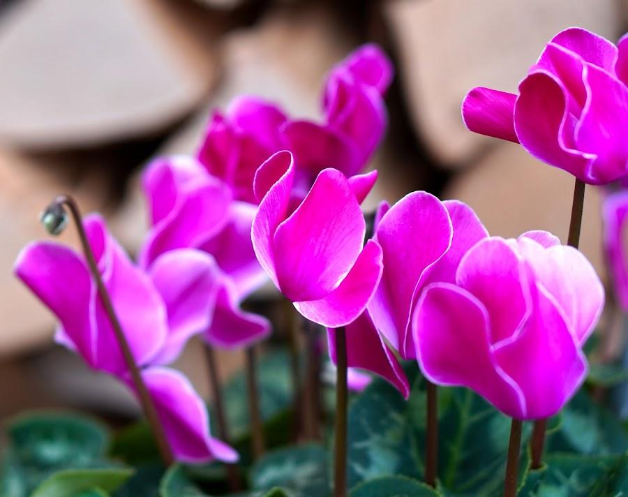 Cyclamen o violeta de los Alpes, hermosa y decorativa