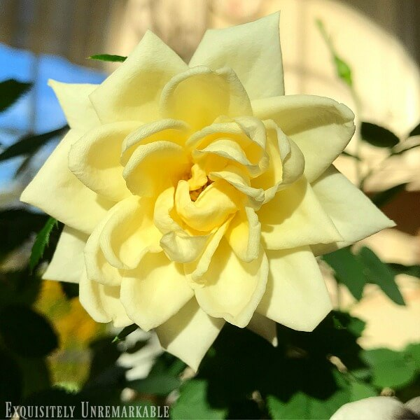 Yellow Mini Rose