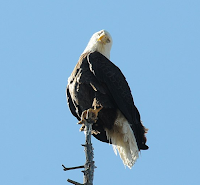 Example of Bald Eagle