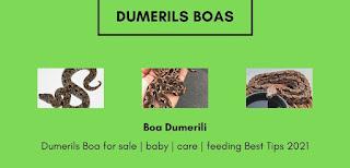 Dumerils boa for sale