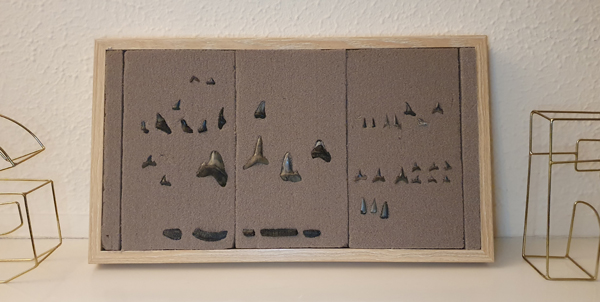 How to display your sharks teeth collection
