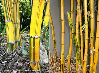 gambar tanaman bambu kuning