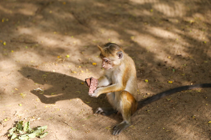 monkey eats a biscuit pictures